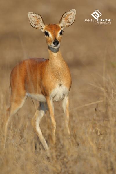 Steenbok ©
