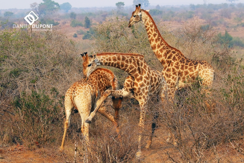 Girafe ©