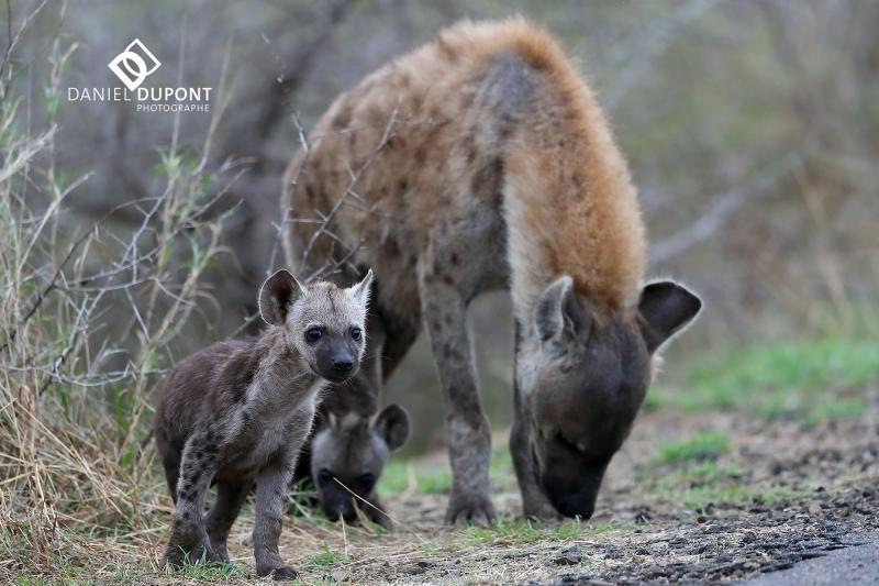 Hyène tachetée ©