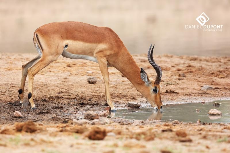 Impala mâle ©