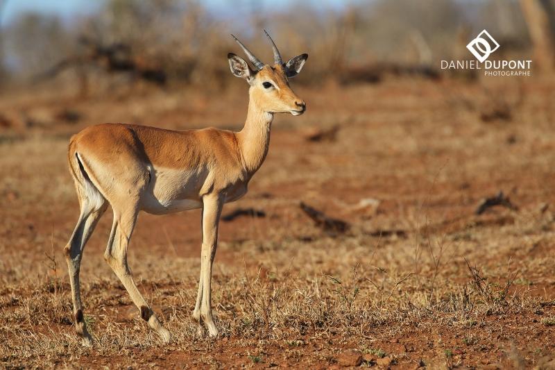 Impala femelle ©