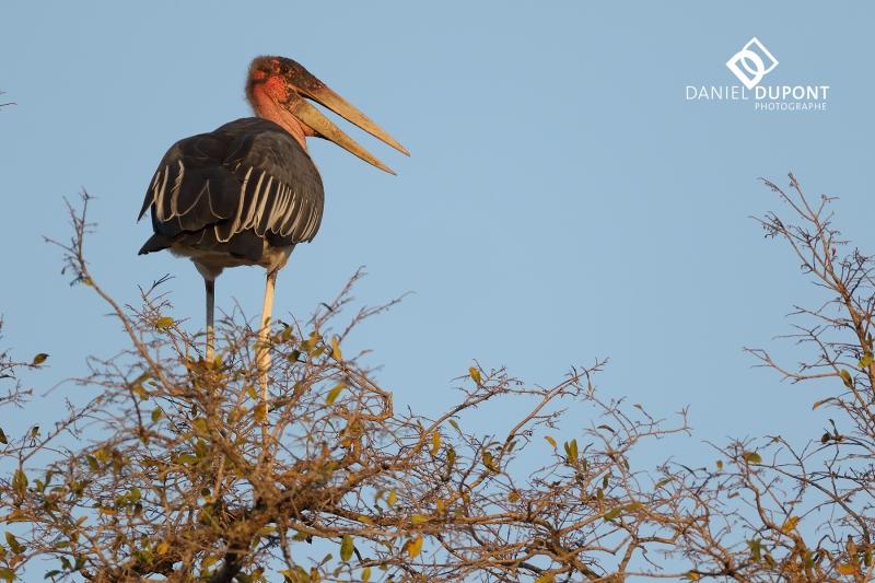 Marabout d'Afrique ©