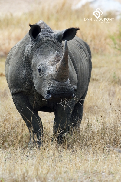 Rhinocéros blanc ©