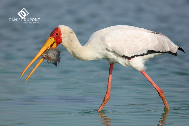 Tantale ibis ©