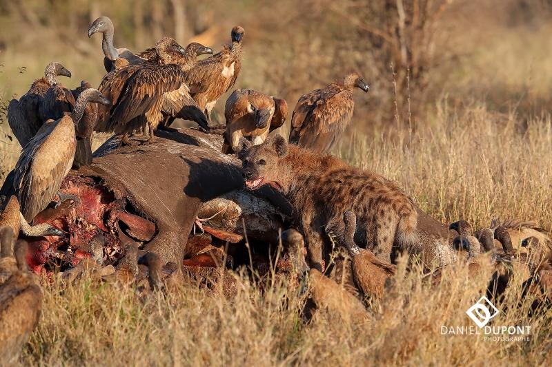 Vautour africain et Hyène tachetée ©