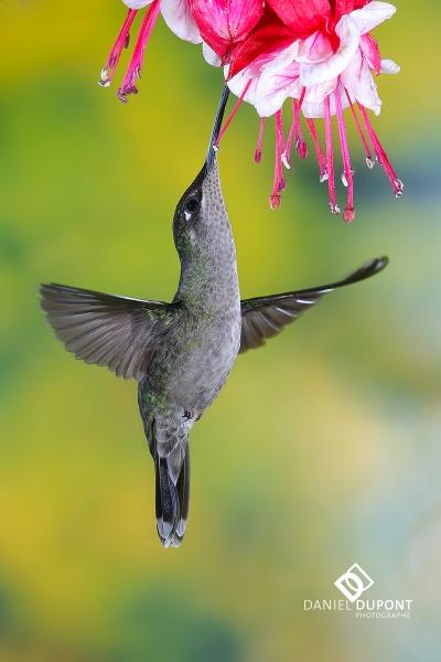 Colibri de Rivoli femelle