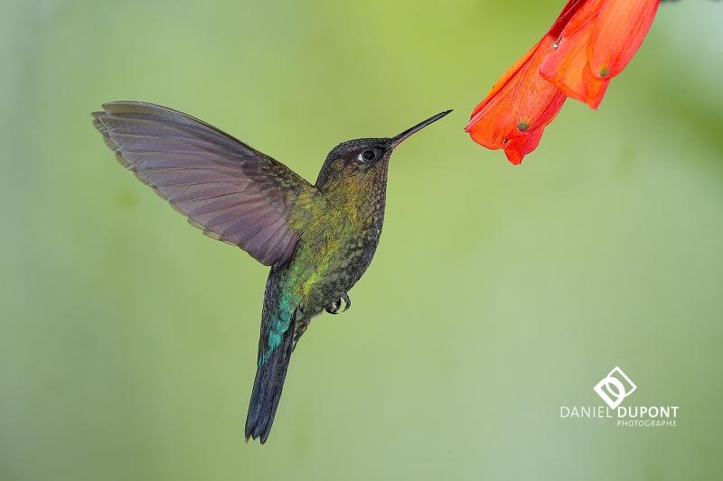 Colibri insigne mâle