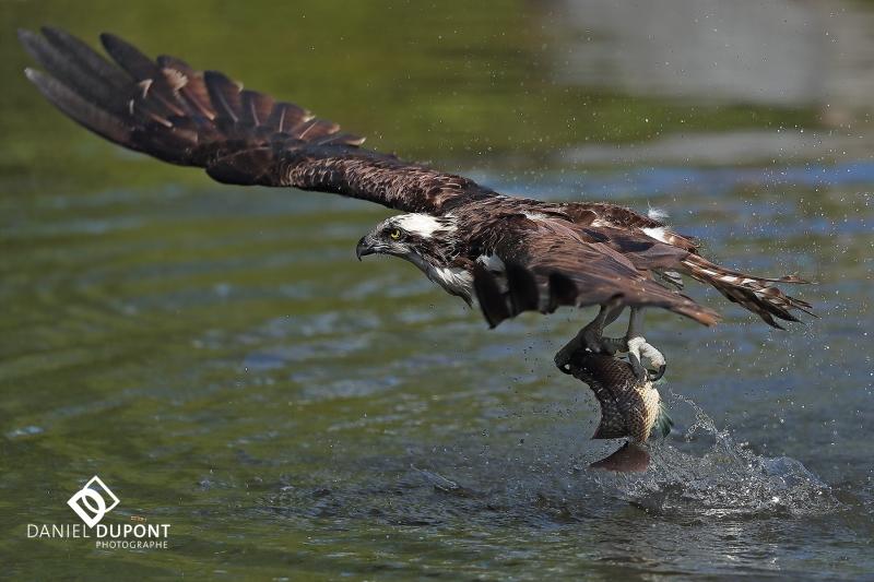 Balbuzard pêcheur ©