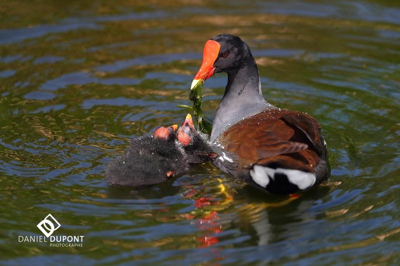 Gallinule poule d'eau ©