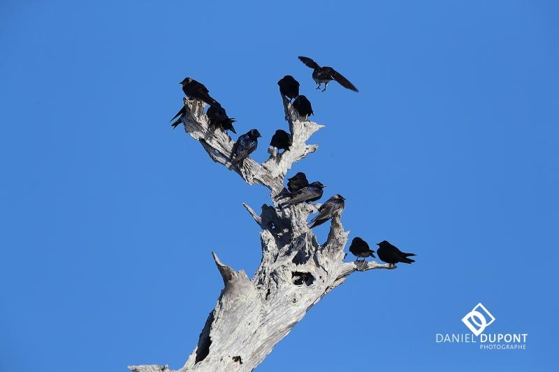Hirondelle noire ©
