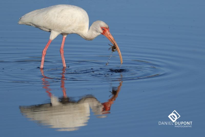 Ibis blanc ©