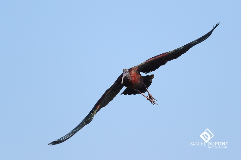 Ibis falcinelle ©