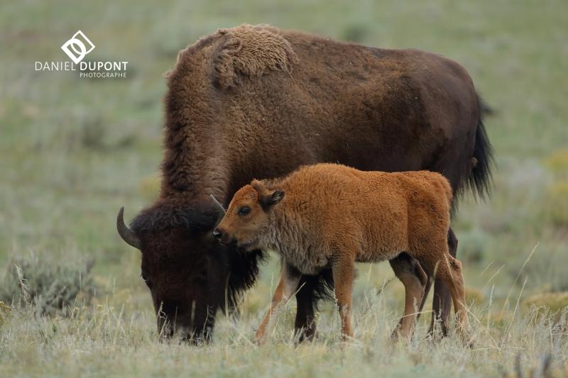 Bison  femelle et veau ©