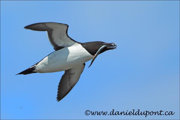 Petit-Pingouin-vol-13-5417