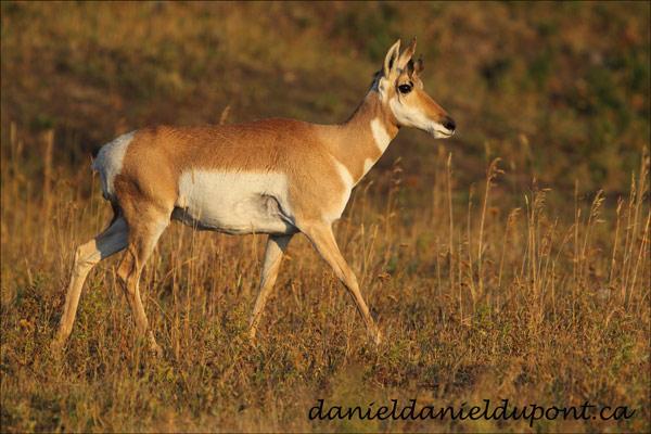 Antilope_femelle-12-8-4897