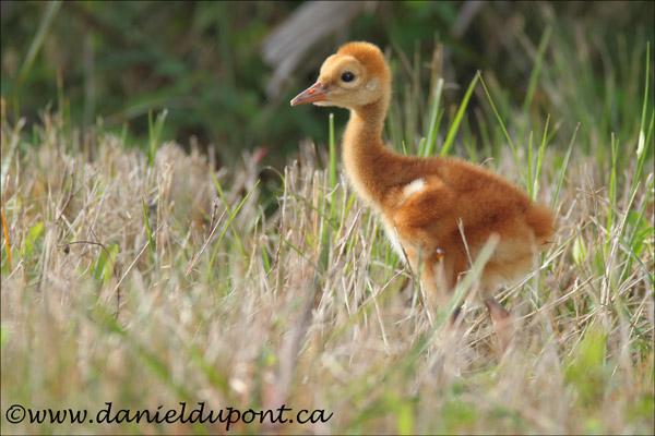 Grue-du-Canada-immature-14-6374