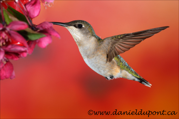 Colibri-à-gorge-rubis-femelle-15-1386