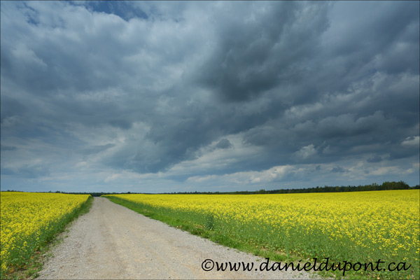 Champ_Canola_route_terre_St-Lamber-13-2059