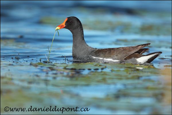 Gallinule-poule-eau-12-3690