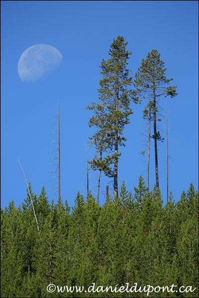 Lune_arbre_Yellowstone-14-0546