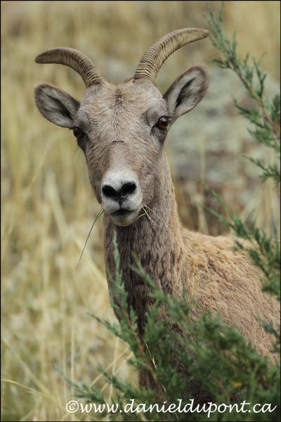Mouflon-Amérique-14-8962