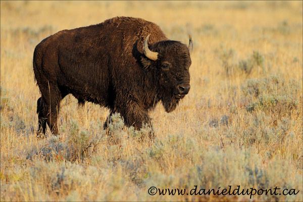 Bison_Amérique_Yellowstone-14-9879