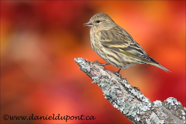 Tarin-des-pins-automne-10-tourne-7612