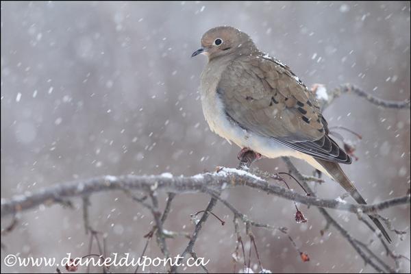 Tourterelle-triste-neige-8X12-10-0549