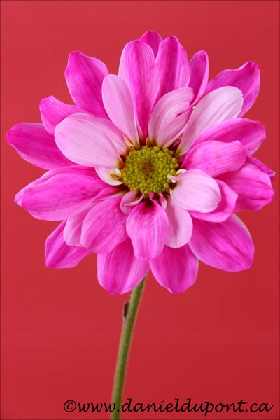 Fleur_rose_rouge_14-4228