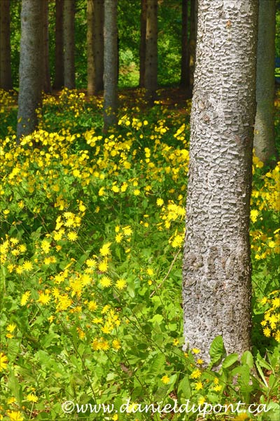 Arbre_fleur_jaune-15-2773