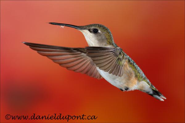 Colibri-à-gorge-rubis-femelle-15-1383