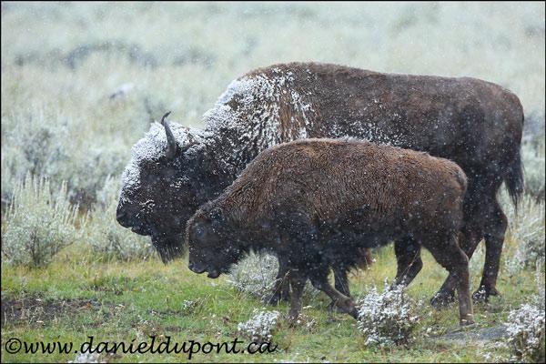 Bison_femelle_neige-14-9590