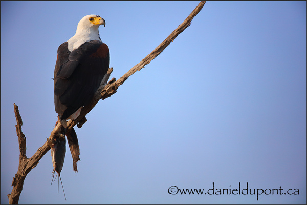 African-fish-eagle-15-1956