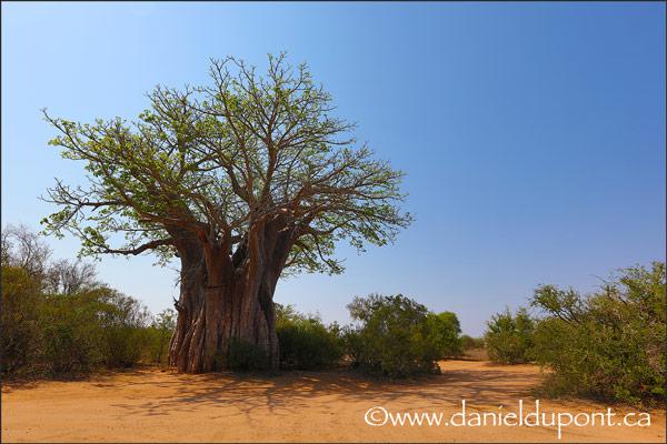 Baobab-15-2026