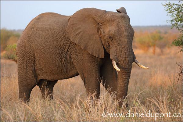Éléphant_Afrique-15-9765