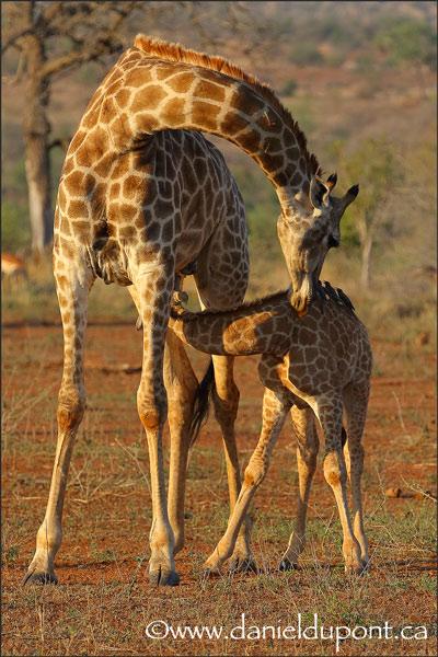 Girafe-15-0130