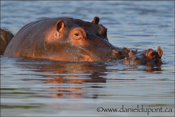 Hippopotame-15-2502