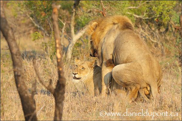 Lions_copulation-8-15-4115