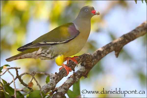 Pigeon-du-Cap-15-1209