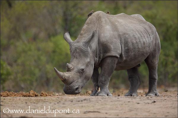 Rhinocéros-8-15-8109