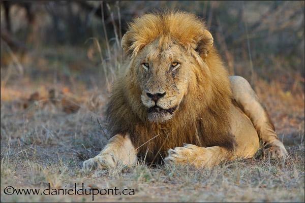 Lion-15-1811