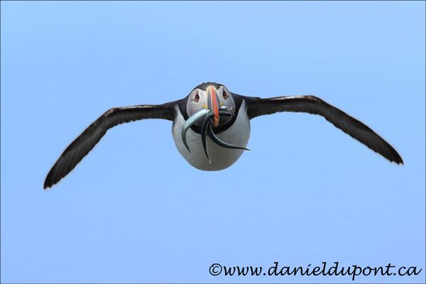 Macareux-moine-vol-poisson-15-5042