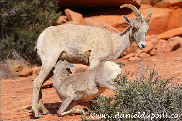 Mouflon_Amerique_femelle-15-0698