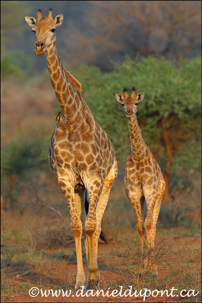 Girafe_femelle_immature-15-0180