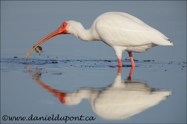Ibis-blanc-09-2109