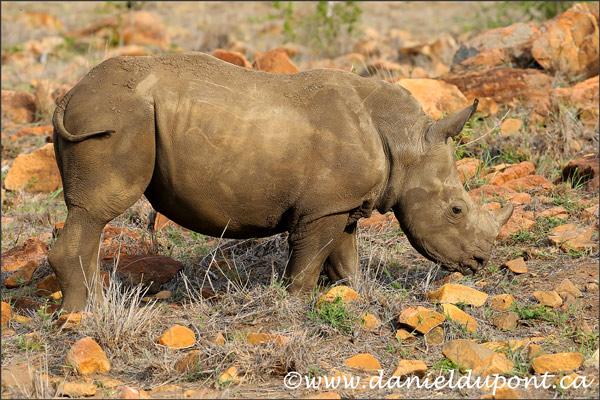 rhinoceros-blanc-4-16-3495