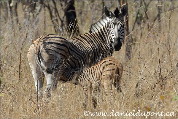 zebres-16-9680