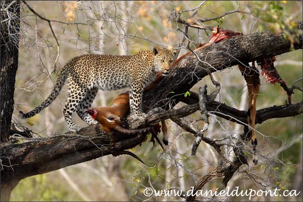 leopard-4-16-8324