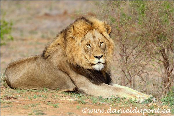 lion-16-4884