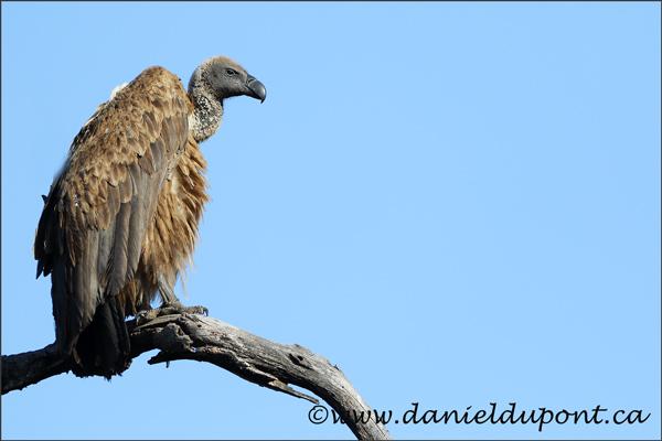 vautour-15-0615